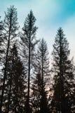 Gamla prydliga träd, svarta konturer över molnig himmel Royaltyfria Foton