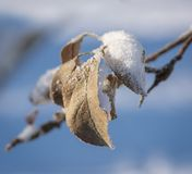 Gamla sidor för Apple träd som täckas med iskristaller fotografering för bildbyråer