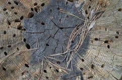Gamla skadade wood borr för trädstubbe Arkivbild