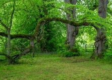 Gamla träd i en skog Royaltyfri Bild
