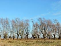 Gamla träd i höst Arkivbilder