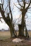 Gamla träd med gamla kors Arkivfoton