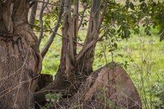 Gamla träd med synligt rotar - kraftigt rotar royaltyfri fotografi