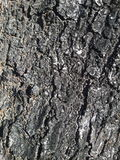 Gamla träd mumifierad hud Royaltyfri Fotografi