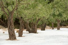 Gamla träd på vit sand royaltyfria foton