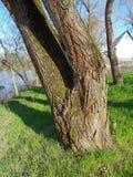 Gamla trädstammar på flodstranden Mures, Arad, Rumänien royaltyfri bild