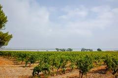 Gamla vingårdar i Maguelone nära Montpellier, Frankrike som omges arkivfoton