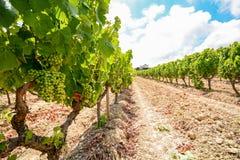 Gamla vingårdar med rött vindruvor i den Alentejo vinregionen nära Evora, Portugal Royaltyfria Bilder