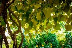 Gamla vinrankor och lantlig trädgård Arkivfoton