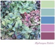 Gamma di colori del Hydrangea Fotografia Stock