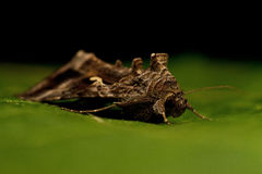 Gammafly  Autographa gamma Stock Images