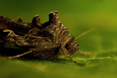 Gammafly  Autographa gamma Royalty Free Stock Photography