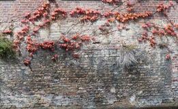 Gammal övergiven grungetegelstenvägg med den röda och gula murgrönan Arkivfoto
