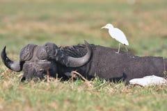 Gammal afrikansk buffel-, Syncerus caffer och häger Arkivfoto