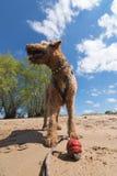 Gammal airedaleterrier Terrier som spelar med bollen på en strand royaltyfria foton