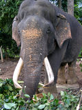 Gammal asiatisk elefant Royaltyfri Fotografi