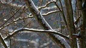 Gammal avenbok i snöfall Royaltyfria Bilder