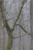 Gammal avenbok i snöfall i nedgång Arkivfoto