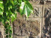 Gammal bakgrund för stenvägg och gräsplanmurgröna Arkivbilder