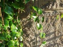 Gammal bakgrund för stenvägg och gräsplanmurgröna Arkivfoton