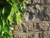 Gammal bakgrund för stenvägg och gräsplanmurgröna Arkivbild