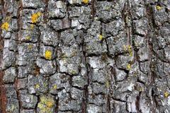 Gammal bakgrund för trädskäll Royaltyfria Foton