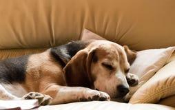 gammal beagle Royaltyfri Fotografi