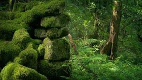 Gammal bevuxen vägg i skogen lager videofilmer