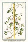 Gammal botanisk illustration av Quamoclit foliisdigitatis Royaltyfri Fotografi