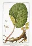 Gammal botanisk illustration av Rhabarbarum den forte- Dioscoridis växten Arkivfoton