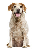 Gammal Brittany hund med ögoncystor som flåsar, 12 gamla år Royaltyfri Foto