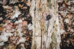 Gammal bruten trädstam i skogen Arkivfoton