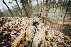 Gammal bruten trädstam i skogen Arkivfoto