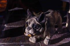 Gammal bulldoggstatyett Royaltyfria Foton