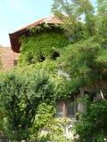 Gammal byggnad som täckas med den gröna murgrönan Arkivbilder