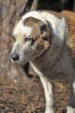 Gammal central asiatisk herde Dog Arkivfoton