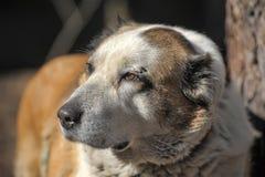 Gammal central asiatisk herde Dog Arkivfoto