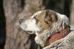 Gammal central asiatisk herde Dog Arkivbild
