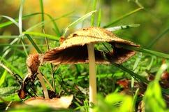 Gammal champinjon i ett gräs royaltyfri fotografi