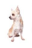 Gammal Chihuahua arkivfoto