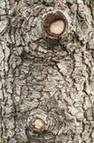 Gammal closeup för cederträträdskäll Arkivfoto