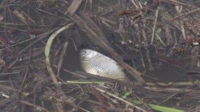 Gammal död fisk i en dammcloseup lager videofilmer