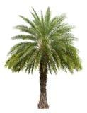 Gammal datumpalmträd som isoleras på vit Arkivbilder