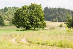 Gammal ek i ängen Arkivfoto