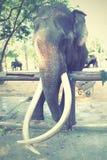 gammal elefant Arkivfoton