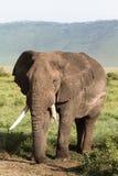 gammal elefant Mycket stort djur Ngorongoro krater Fotografering för Bildbyråer
