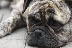 Gammal engelsk bulldogg Royaltyfri Fotografi