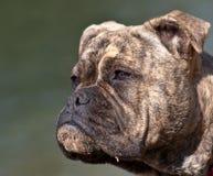 Gammal engelsk bulldogg Arkivfoto
