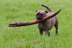 Gammal engelsk bulldogg Arkivbilder
