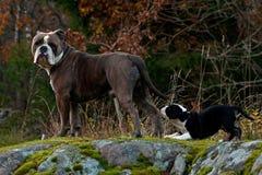 Gammal engelsk bulldogg nio veckor för gammal valp med en vuxen man Fotografering för Bildbyråer